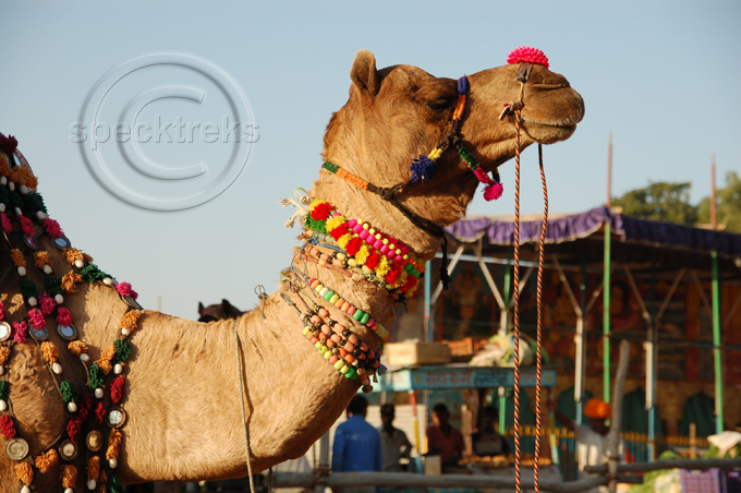 Camel India Sarah Peck