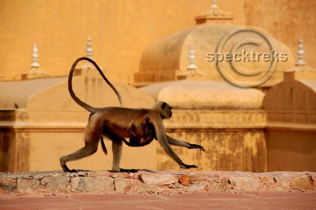 Jaipur Monkey Sarah Peck