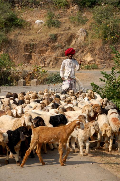 Sheep India Sarah Peck
