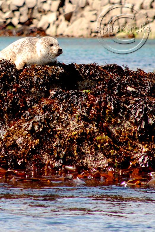 Seal Scotland Sarah Peck