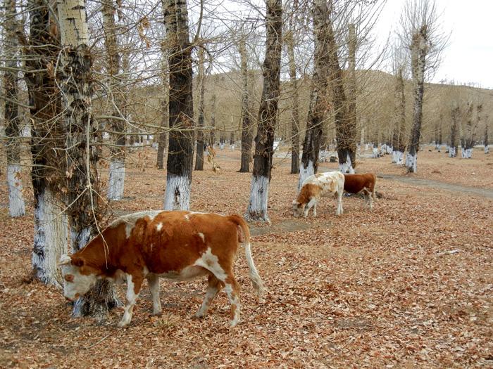 Mongolia cows