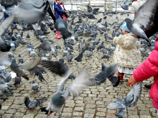 Mongolia Pigeons